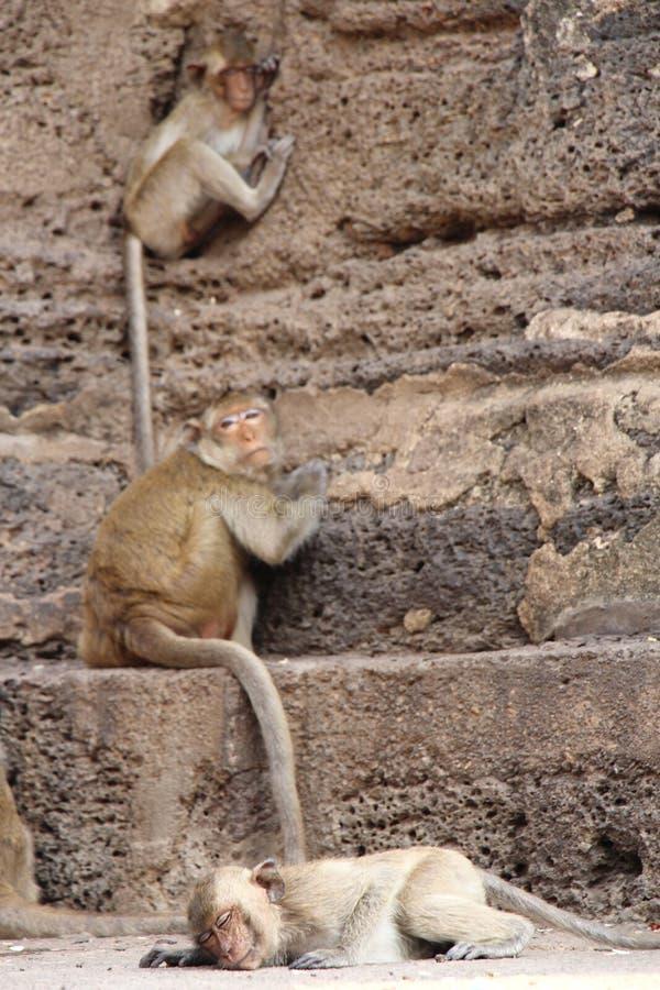 Rhesusfaktor Makaken- oder Bhandar-Affe an den Straßen lizenzfreies stockbild