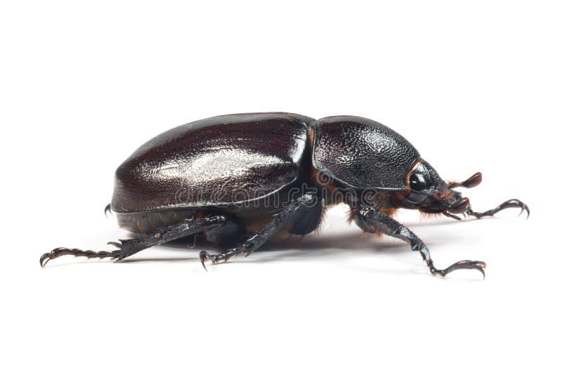 Rhinceros skalbagge, Unicorn Beetle royaltyfri bild