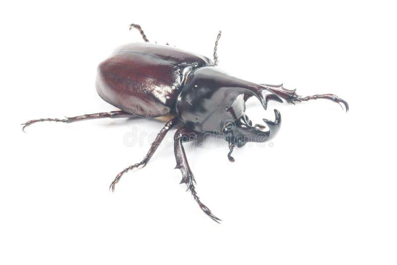 Rhinceros skalbagge, Unicorn Beetle fotografering för bildbyråer