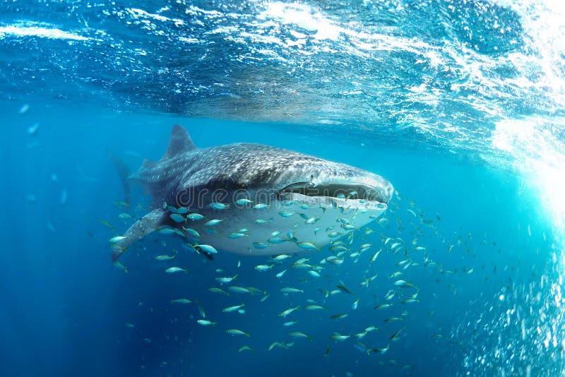 Rhincodon typus dello squalo balena e piccolo pesce giallo immagine stock