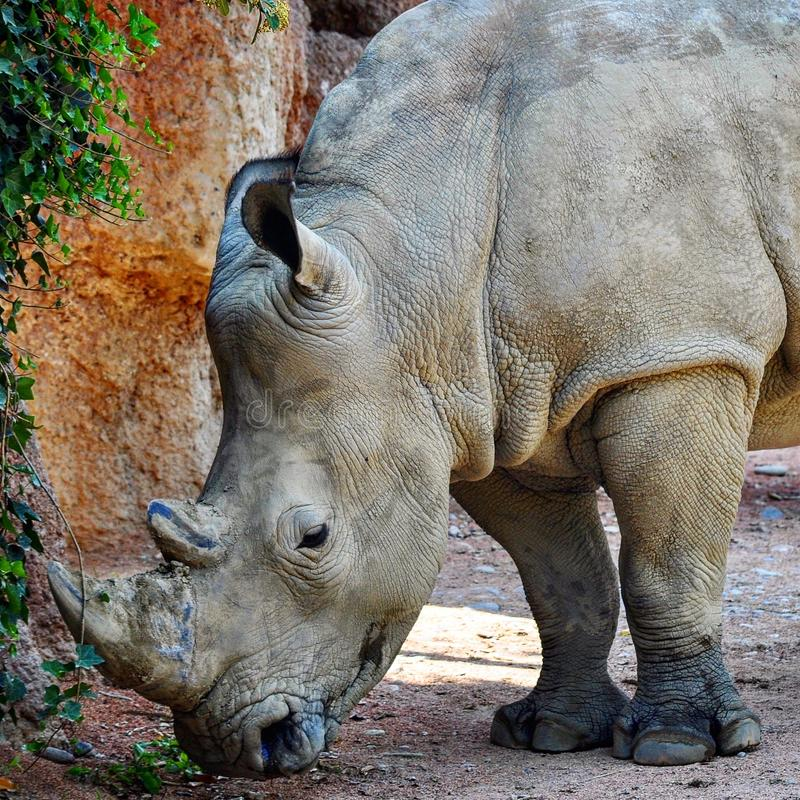 Rhino 🦏 royalty free stock images