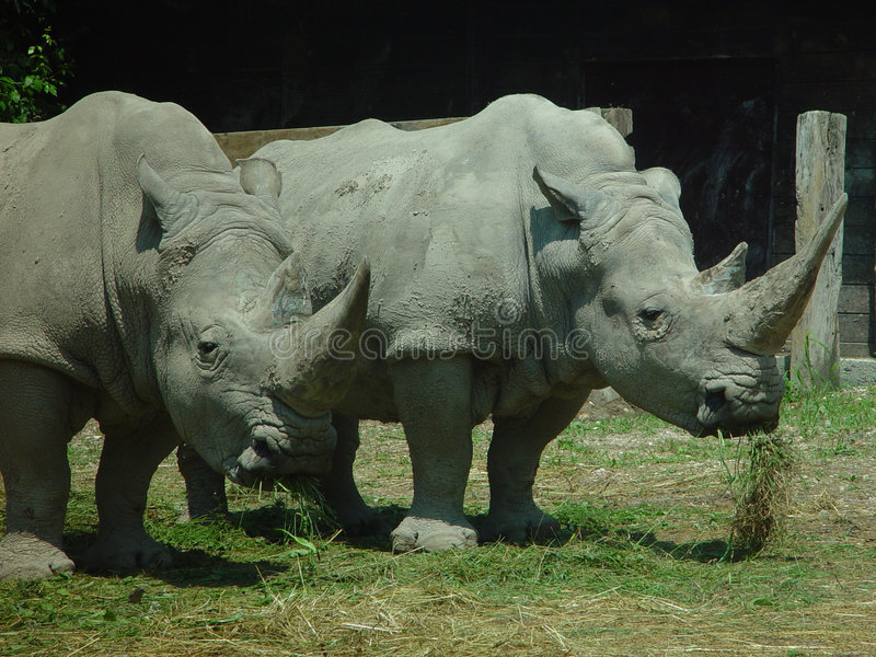 Download Rhino stock image. Image of male, respect, pair, solid, tough - 4975