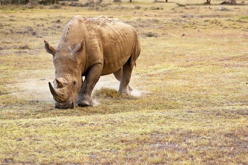 Rhino. White rhino grazing on dusty plains in kenya royalty free stock photo