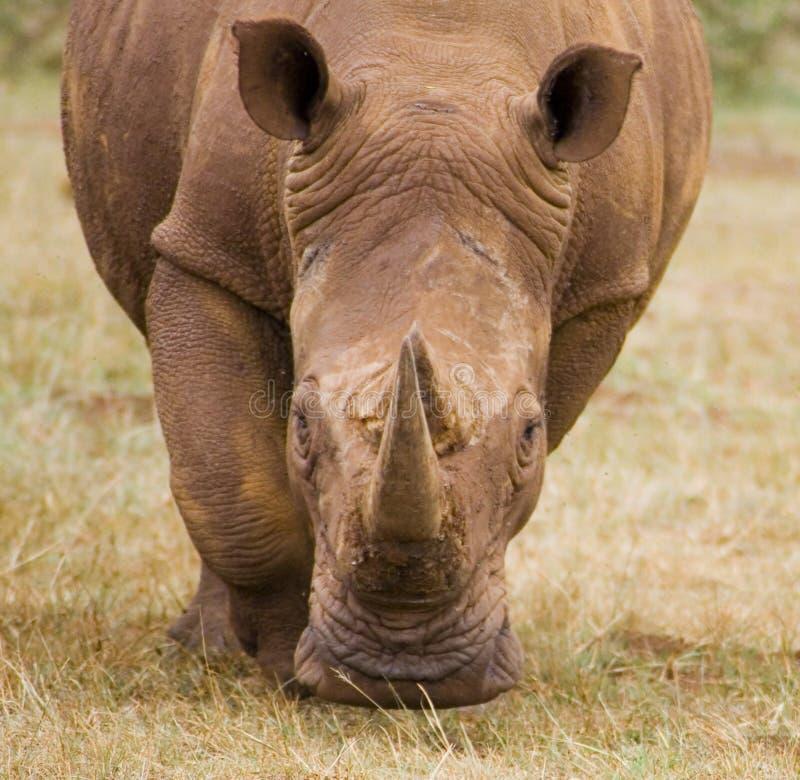 Download Rhino Royalty Free Stock Photo - Image: 12059875