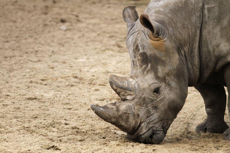 Download Rhino stock photo. Image of grey, wildlife, head, horn - 14158932
