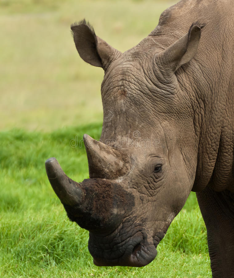 Rhino. A nice image of a white rhino or square lipped rhinoceros royalty free stock image