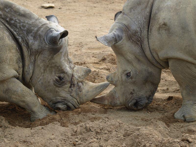Download Rhino stock image. Image of wild, combat, male, animal - 20038833