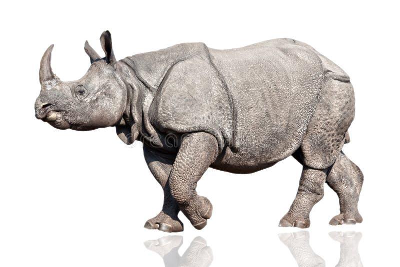 Rhino. Adult rhino isolated on white background