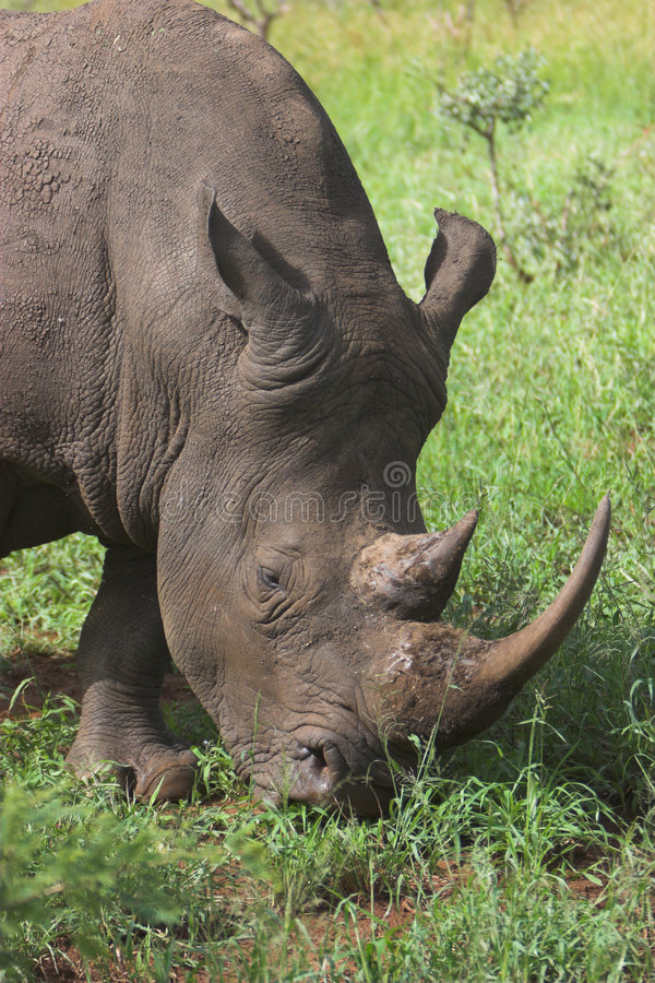 Download Rhino stock photo. Image of dangerous, endangered, travel - 2300216