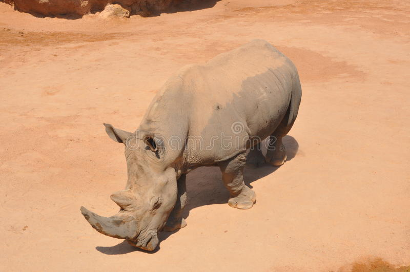 Download Rhino stock photo. Image of beauty, dominant, determined - 23317104