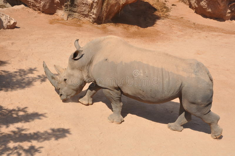 Download Rhino Royalty Free Stock Photography - Image: 23317117