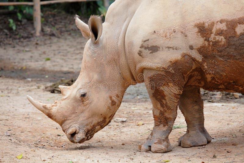 Download Rhino Stock Images - Image: 23643764