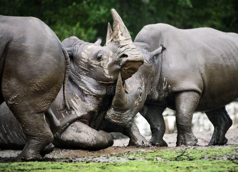 Download Rhino stock photo. Image of close, wildlife, head, wrinkled - 25218730