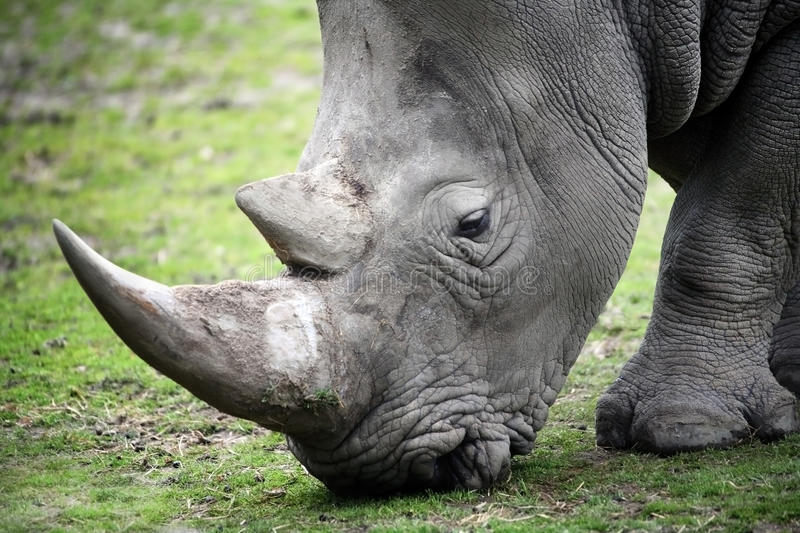 Download Rhino stock photo. Image of danger, mouth, power, nature - 25433746