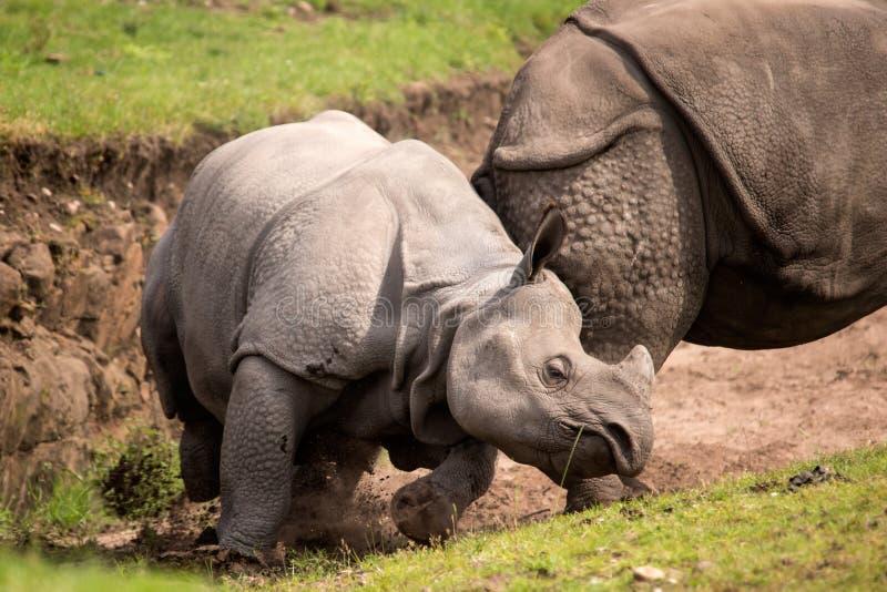 Download Rhino stock image. Image of mammal, rhinocerotidae, african - 25851299