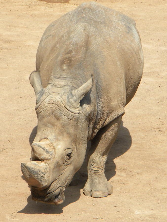 Rhino royalty free stock photography