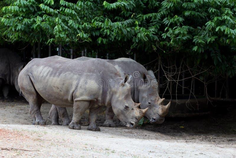 Download Rhino stock photo. Image of massive, magnificent, couple - 27155396