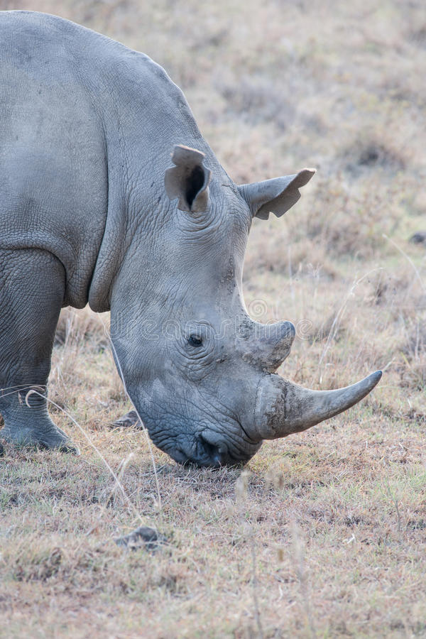 Free Rhino Stock Photo - 39249720