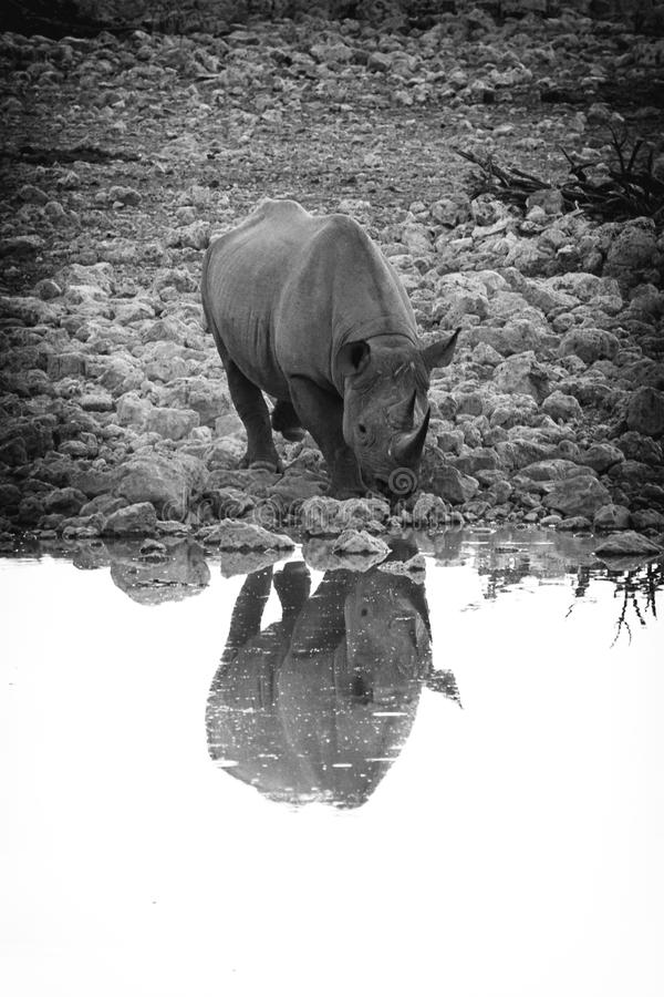 rhino fotografia stock