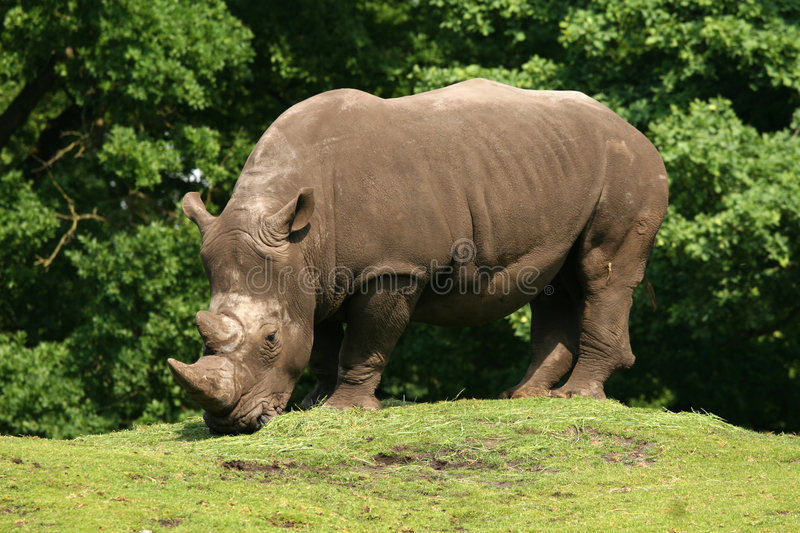 Download Rhino stock photo. Image of wildlife, grass, grey, wild - 5259436