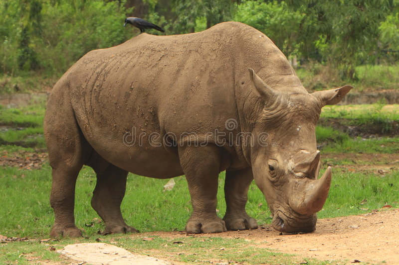 Rhino. The giant on move, the Rhino was moving in the meadow stock image