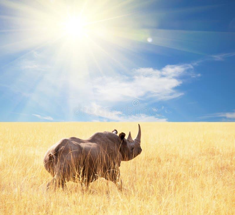 rhino fotos de stock