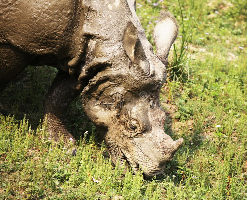 rhino imagens de stock royalty free