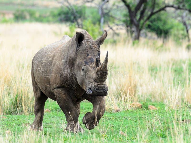 Download Rhino immagine stock. Immagine di messo, south, alberi - 55351899