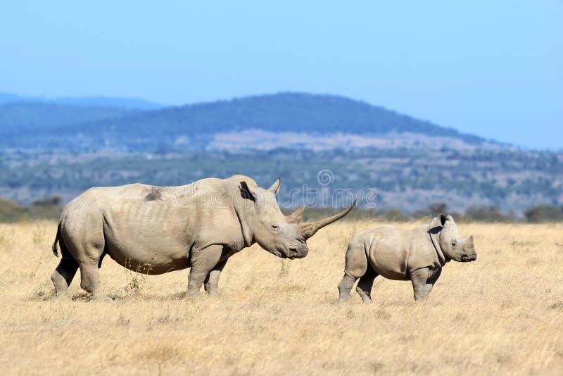 rhino foto de stock royalty free