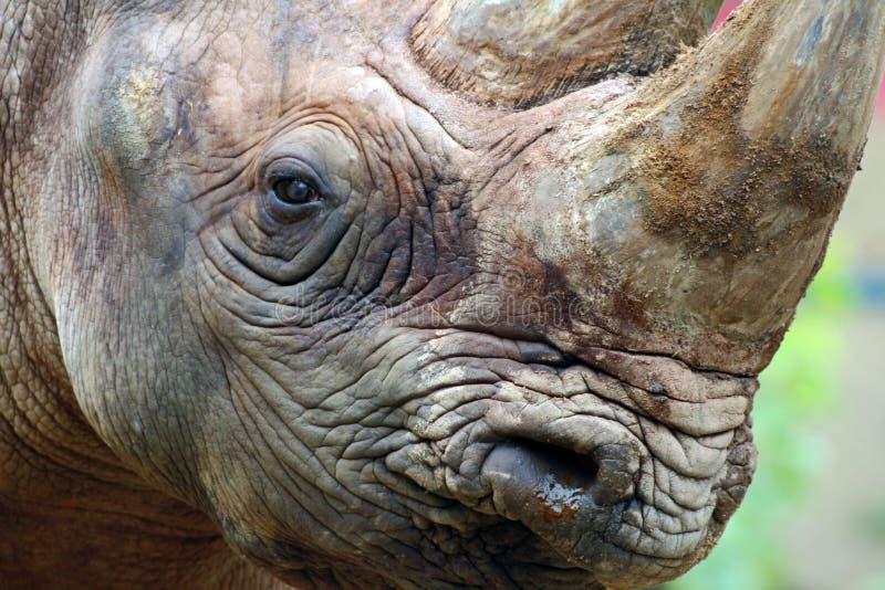 rhino imagem de stock royalty free