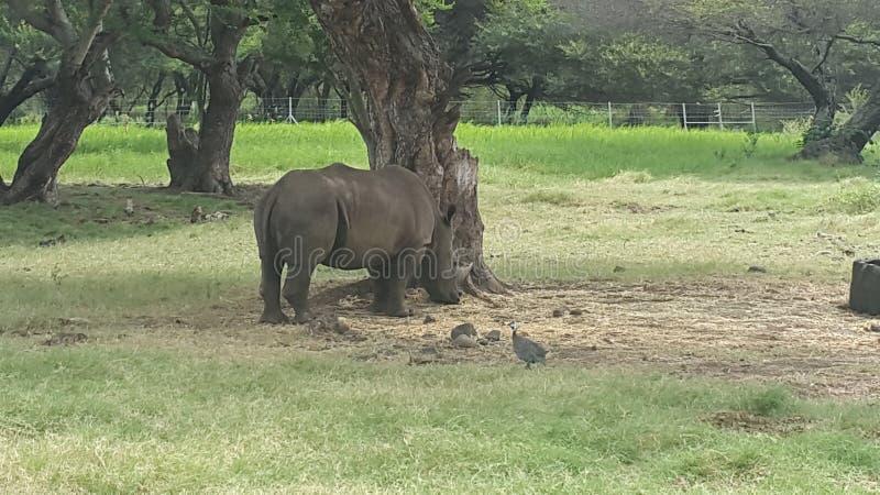 rhino fotos de stock royalty free