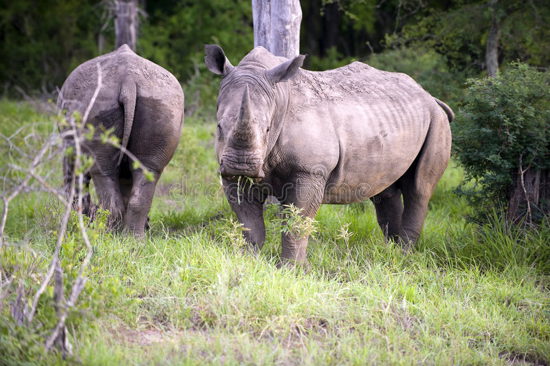 Rhino, royalty free stock images