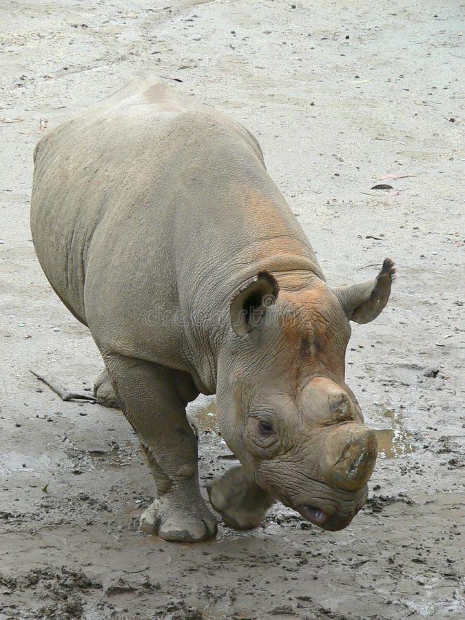 Download Rhino Royalty Free Stock Image - Image: 83586