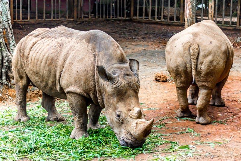 rhino fotografia de stock