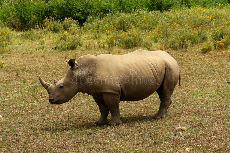 RHINO IN AFRICA royalty free stock photo