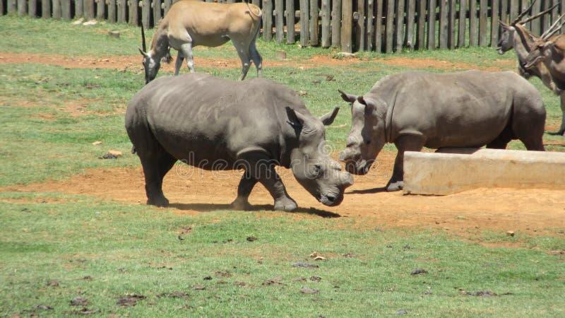 Rhino Africa. Rhino at Alzu Lowveld SouthAfrica royalty free stock photos