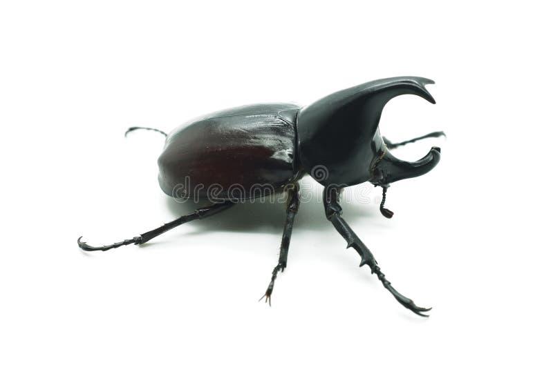 Rhino big horn beetle bug royalty free stock photos