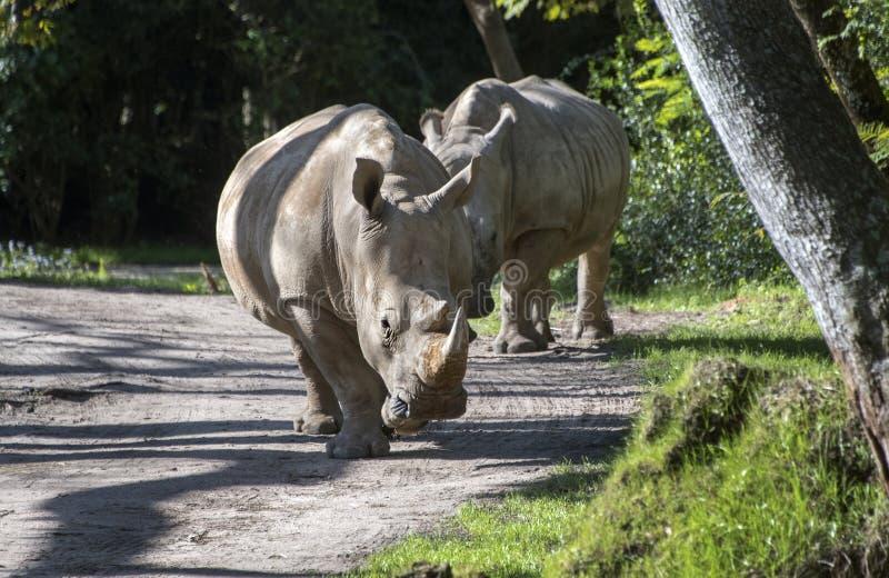 Captive Rhinoceros on safari theme park ride. Rhino blocking road on safari. The white rhinoceros or square-lipped rhinoceros Ceratotherium simum is the largest stock photo