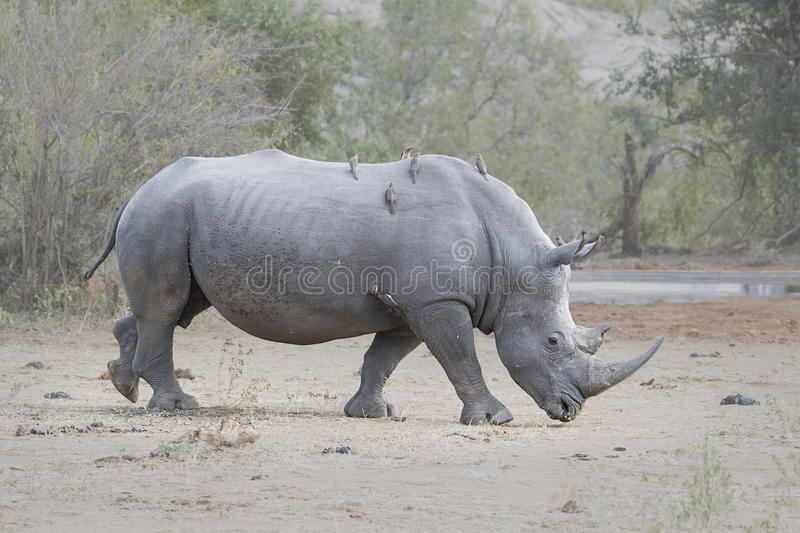 Rhino Bull Side view. A side view of the critically endangered White Rhino in Southern Africa, walking from left to right.nOxpecker birds sitting on the Rhino royalty free stock photography