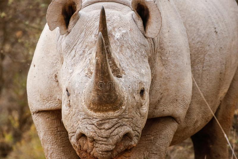 Rhino Charging. A rhino charges through the bush stock photo