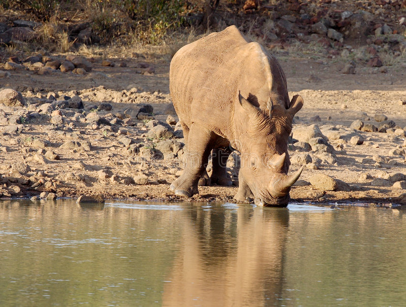 Download Rhino drinking stock photo. Image of reflection, conservation - 5128630