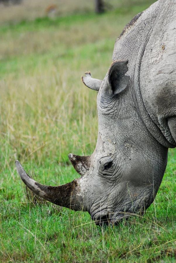 A rhino eating stock image