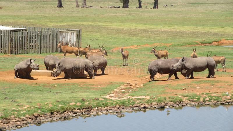 Rhino and Eland. In reserve at Alzu Lowveld SouthAfrica stock images