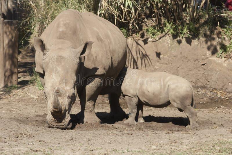Rhino Feeding Time. Southern White Rhinoceros (Ceratotherium simum simum) with Calf royalty free stock photography