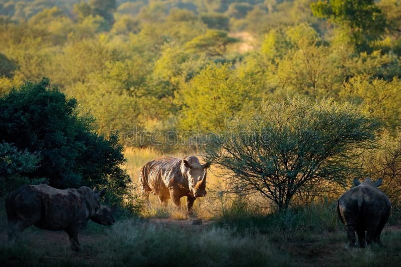 Rhino in forest habitat. White rhinoceros, Ceratotherium simum, with horns, in the nature habitat, Pilanesberg, South Africa. royalty free stock photos