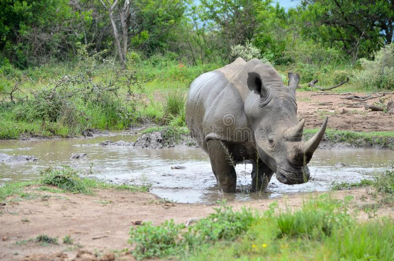 RHINO: A FRIEND IN NEED 01 stock photography