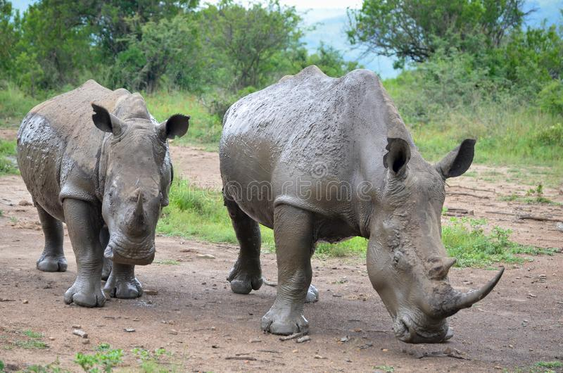 RHINO: A FRIEND IN NEED 02. White rhinoceros Ceratotherium simum are earth`s second-largest land mammals. Rhinos are endangered due to incessant poaching for royalty free stock image