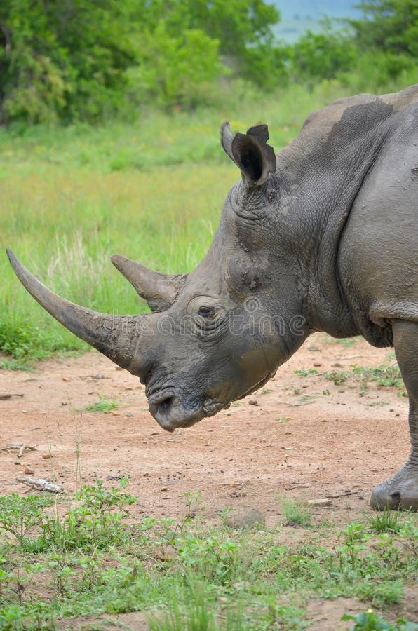 RHINO: A FRIEND IN NEED 03. White rhinoceros Ceratotherium simum are earth`s second-largest land mammals. Rhinos are endangered due to incessant poaching for royalty free stock images
