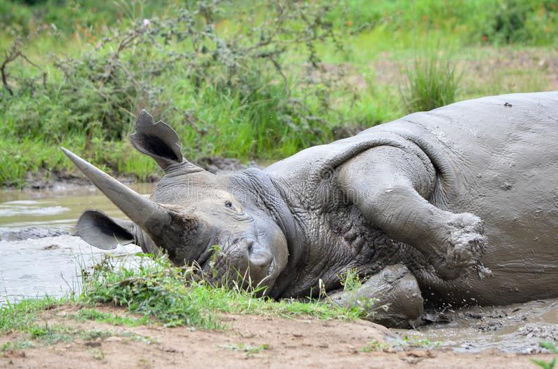 RHINO: A FRIEND IN NEED 04. White rhinoceros Ceratotherium simum are earth`s second-largest land mammals. Rhinos are endangered due to incessant poaching for stock photography