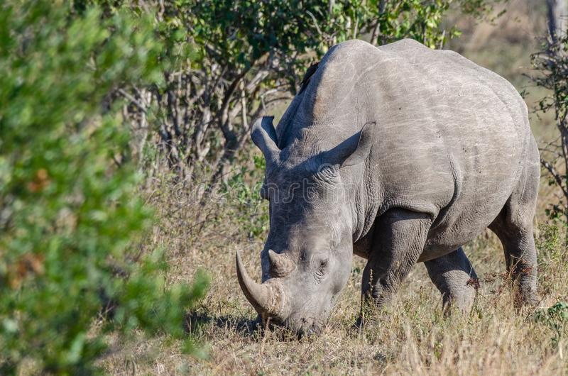 RHINO: A FRIEND IN NEED 15. White rhinoceros Ceratotherium simum are earth`s second-largest land mammals. Rhinos are endangered due to incessant poaching for royalty free stock photography